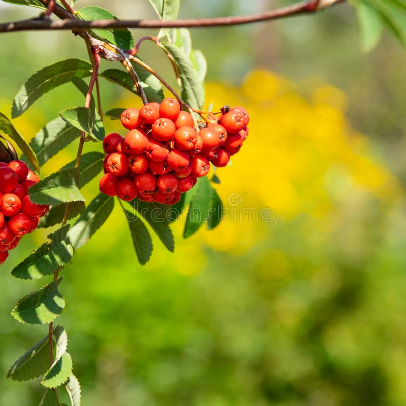 Mountain-ash branch with berries on yellow background. Sorbus aucuparia, commonly called rowan  and mountain-ash, is a species of deciduous tree or shrub in the stock images