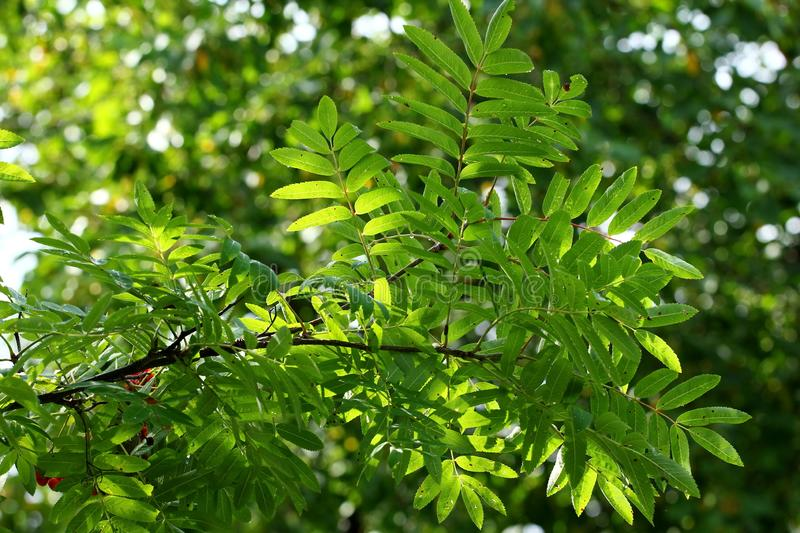 Mountain ash branch. With green leaves stock photos