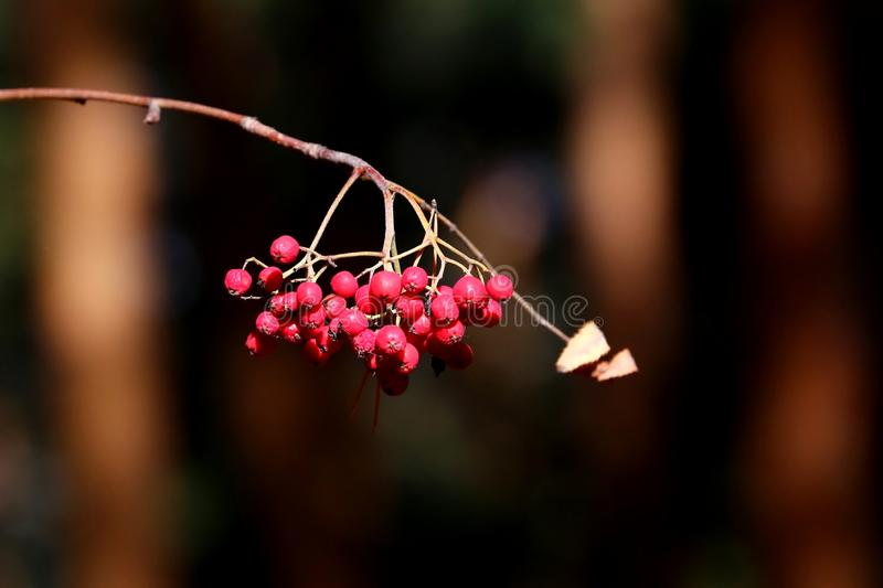 Mountain ash berries. Mountain ash branch with red berries stock photography