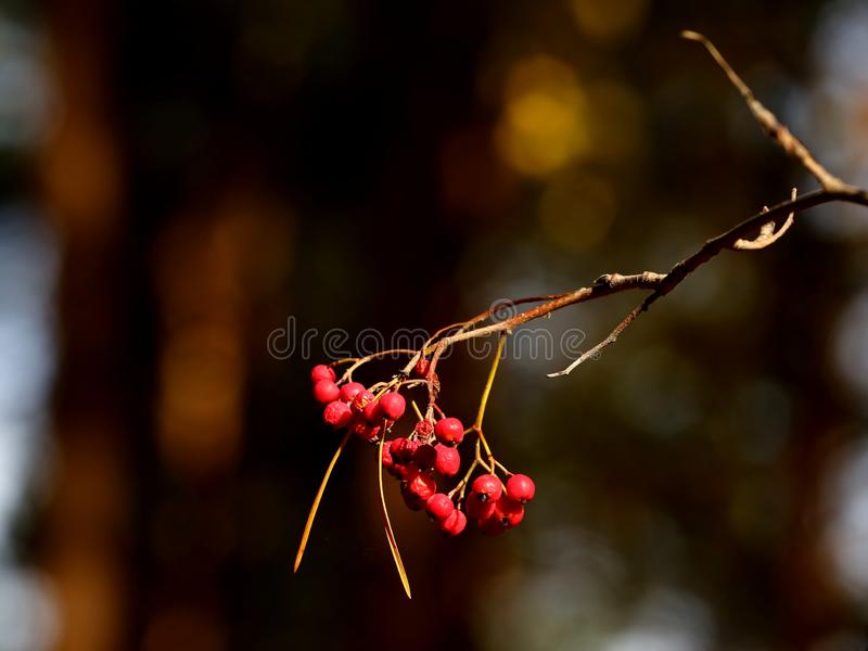 Mountain ash berries royalty free stock photo