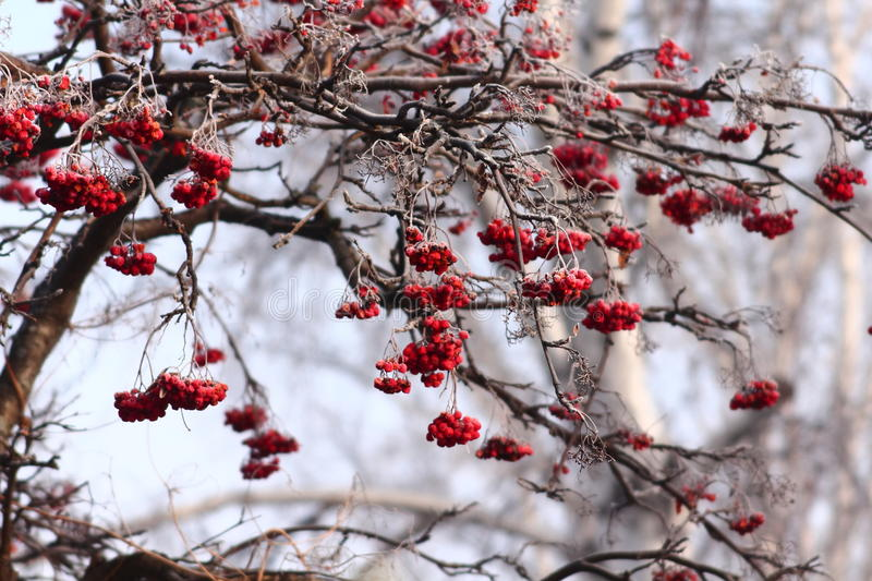 Mountain ash. Branches on misty frosty morning stock photography