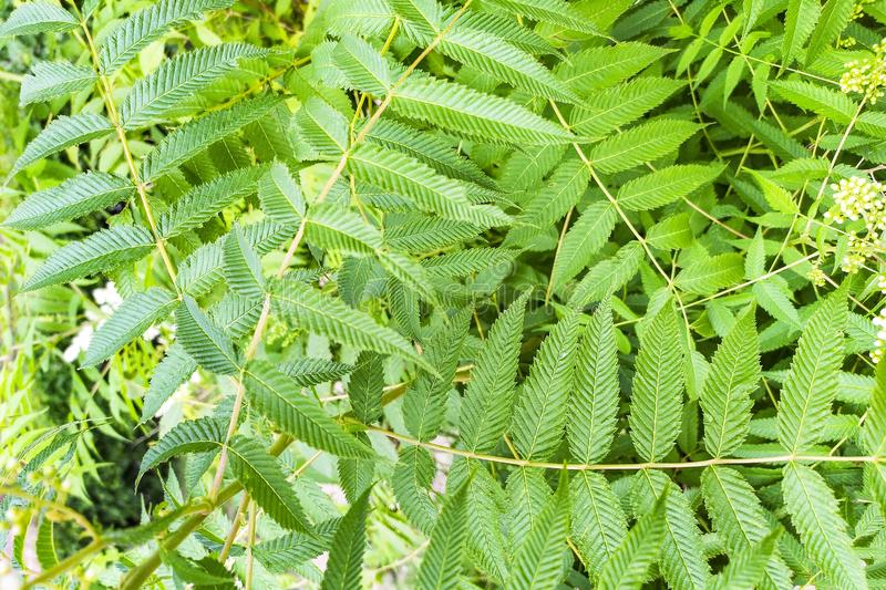 Mountain ash branches with transparent green leaves. Background with green leaves of Sorbus aucuparia in the forest stock photography