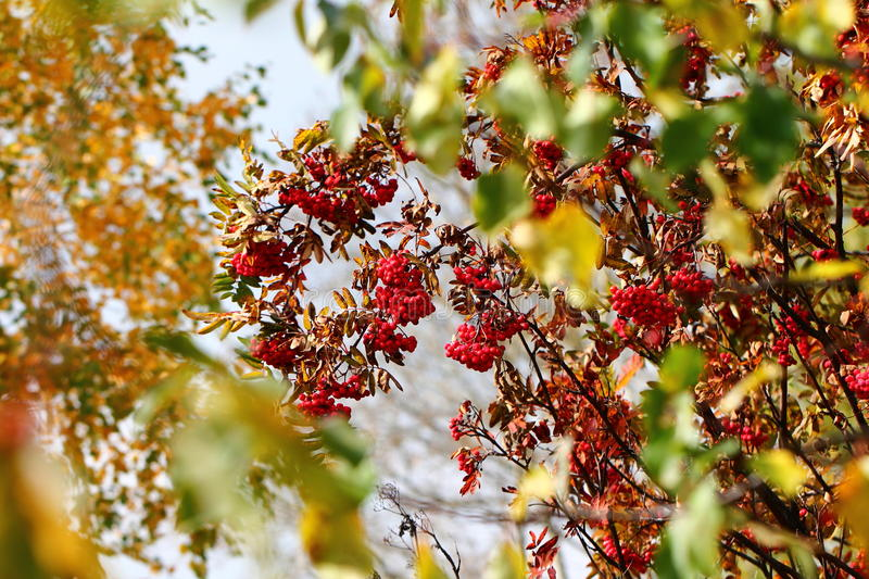 Mountain ash. Branchs in autumn stock photography