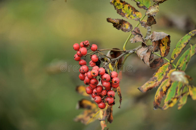 Mountain ash. Closeup of a mountain ash branch showing the autumn berries royalty free stock image
