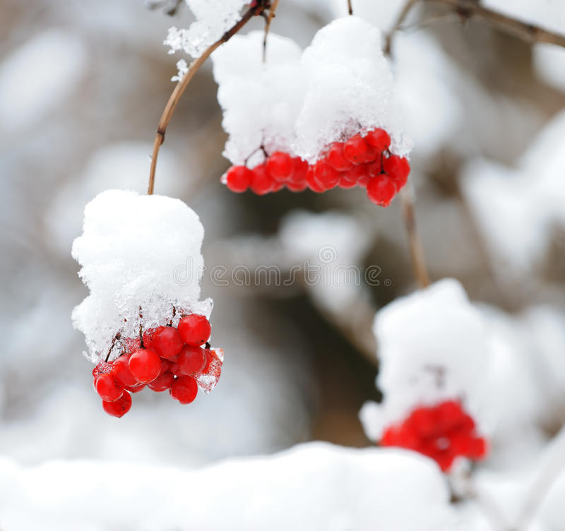 Mountain ash covered with snow royalty free stock photos