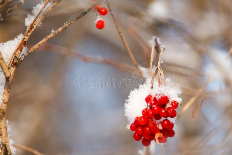 Mountain ash covered with snow. Branches of mountain ash covered with snow royalty free stock image