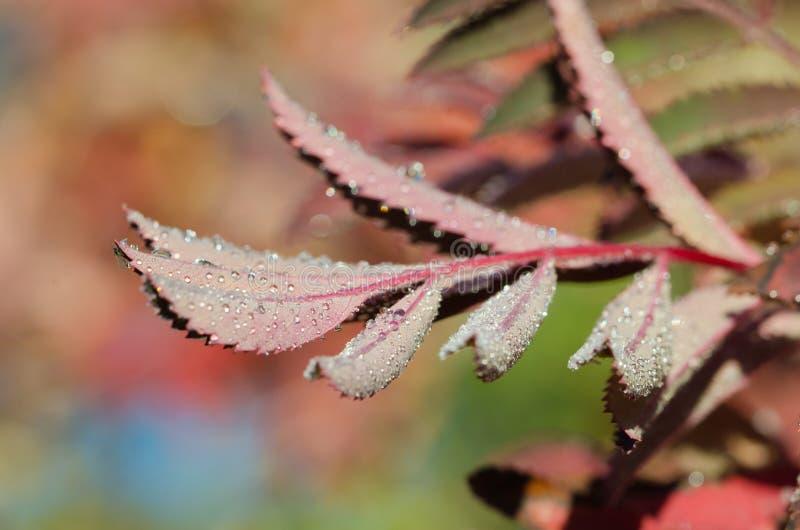 Mountain Ash Dew. A macro shot of dew on mountain ash royalty free stock photos