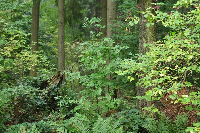 Mountain ash and elder shrub in forest. View into natural forest with ferns, mountain ash and elder tree stock photos
