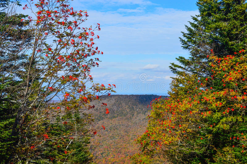 Mountain ash. In fall, Canada stock images