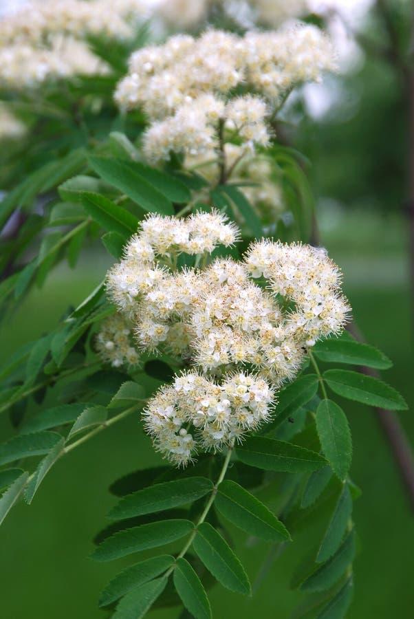 Mountain ash flower stock photo