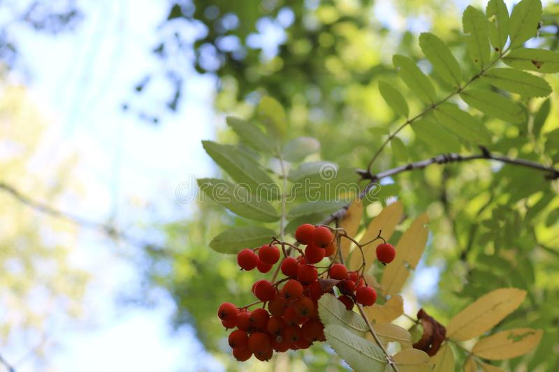 Mountain ash in forest. Mountain ash in green forest stock image