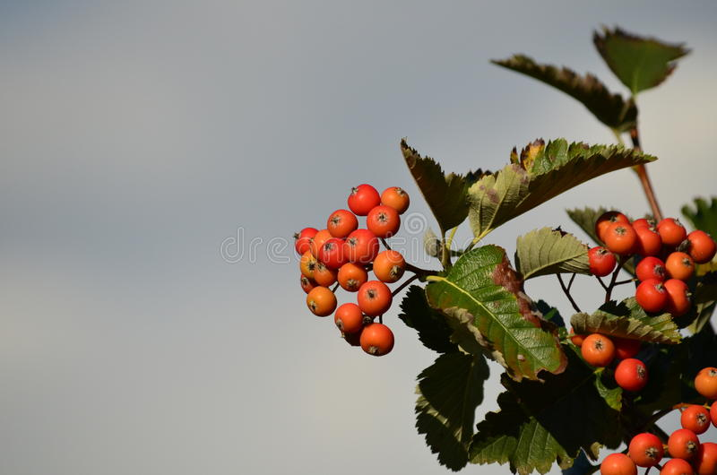Mountain-ash fruits. Mountain-ash (rowan, sorbus aucuparia, quickbeam) fruits and leaves under a cloudy sky stock photography