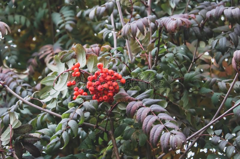 Mountain ash. Green foliage and berries of mountain ash stock photography