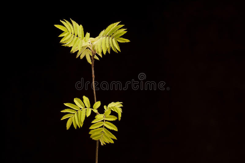 Mountain ash isolated in the black background. stock photo