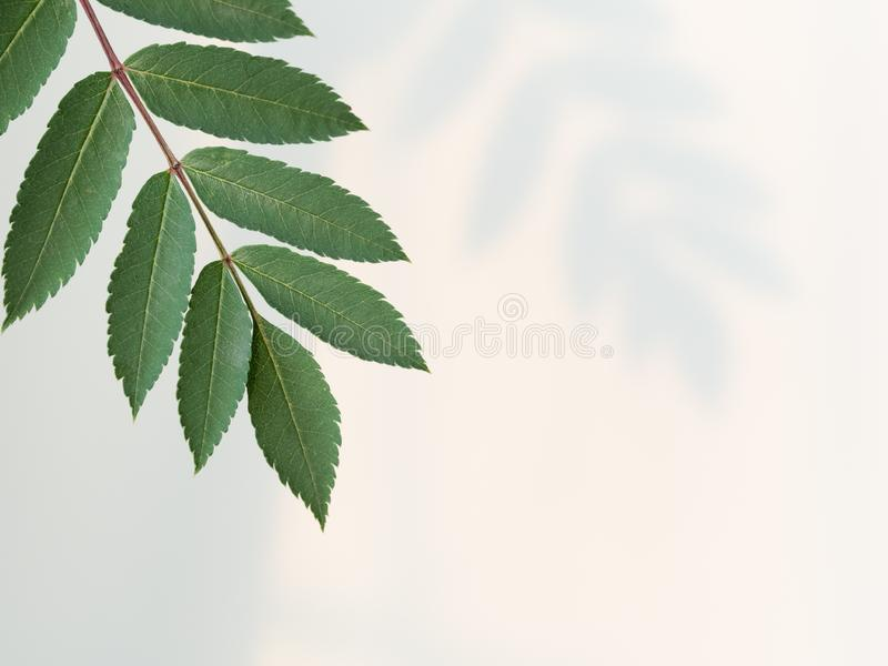 Mountain ash leaf closeup shot stock photos