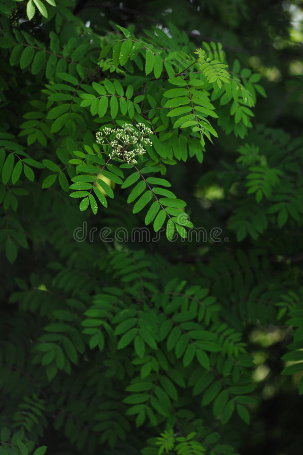 Mountain ash leaves. The leaves and blossoms of the mountain ash tree close up royalty free stock photos
