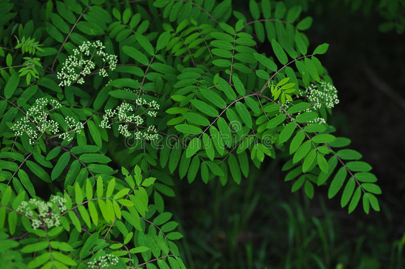Mountain ash leaves. The leaves and blossoms of the mountain ash tree close up royalty free stock photo