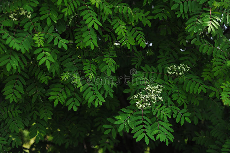 Mountain ash leaves. The leaves and blossoms of the mountain ash tree close up royalty free stock image
