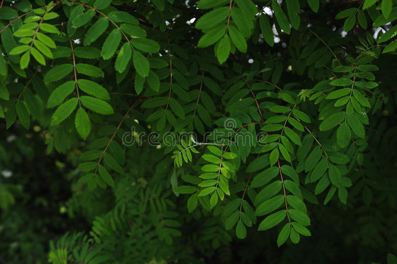 Mountain ash leaves. The leaves and blossoms of the mountain ash tree close up stock image