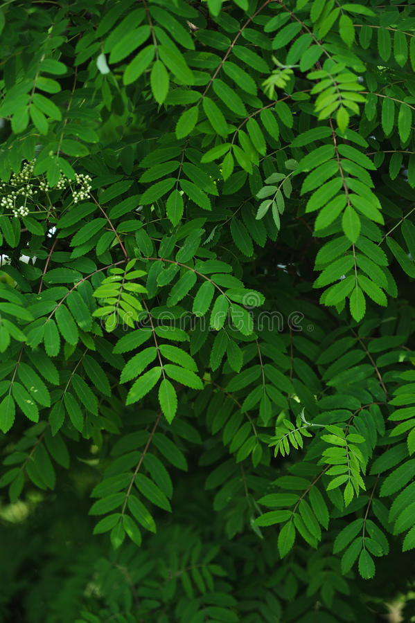 Mountain ash leaves. The leaves and blossoms of the mountain ash tree close up royalty free stock images