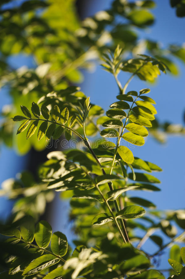 Mountain ash leaves. The leaves of mountain ash on a blue sky background royalty free stock photo
