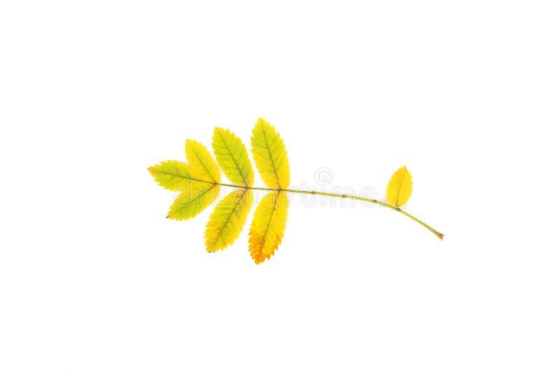 Mountain ash leaves. Yellow mountain ash leaves closeup royalty free stock photos