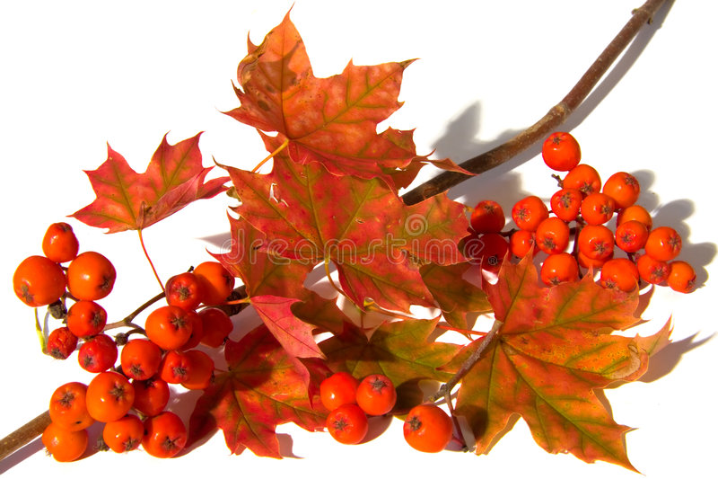 Mountain ash and maple leaf. Branch with maple leafs and mountain ash berrys stock photos