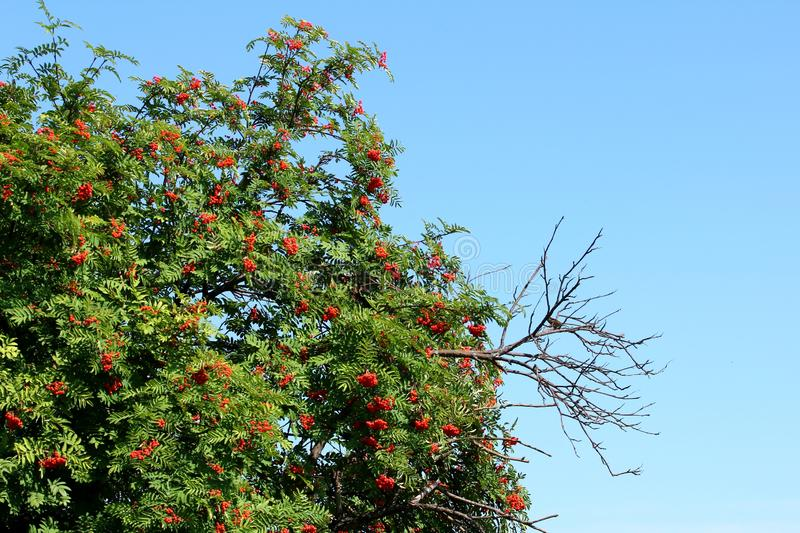 Mountain ash. Tree with red berries royalty free stock photography