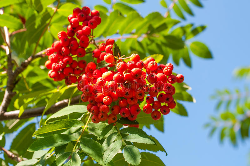 Mountain ash. Photo a mountain ash cluster against the goloby sky stock photography