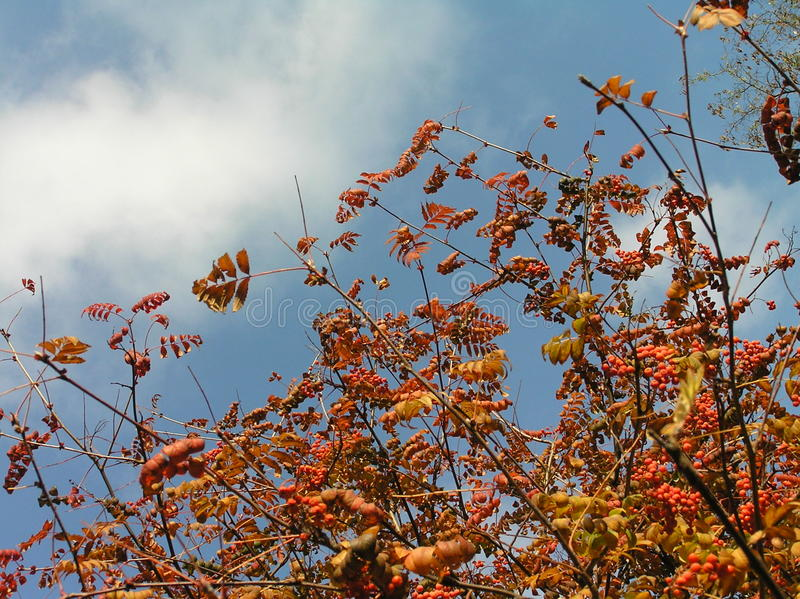 Mountain ash red. Juicy autumn paints against the blue sky royalty free stock photo