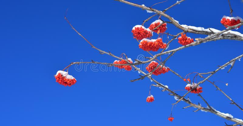 Mountain ash. This is red mountain ash in Caucasus nature in autumn stock photo