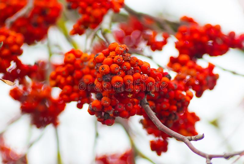 The mountain ash with red mature berries in the fall_. The mountain ash with red mature berries in the fall royalty free stock photo