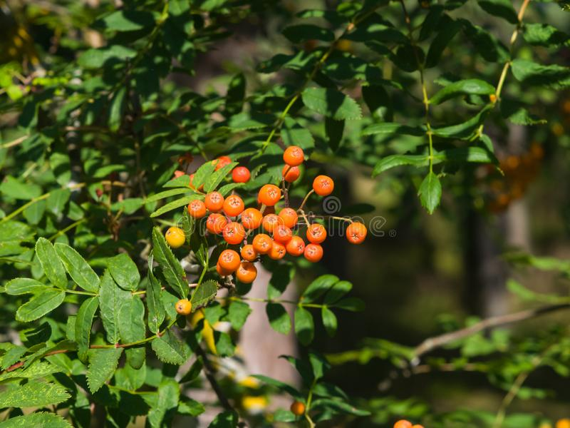 Mountain ash or Rowan, Sorbus tree with riping berries, close-up, selective focus, shallow DOF.  royalty free stock photo