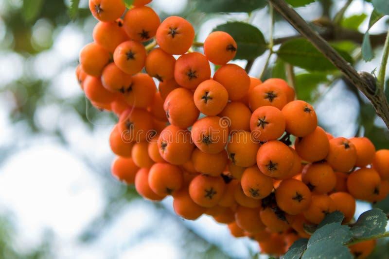 Mountain ash rowan tree branch with orange berries royalty free stock image