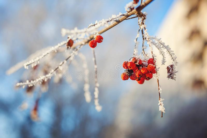 Ashberry on snowy tree branch. Mountain ash on snowy tree branch against the blue sky royalty free stock images