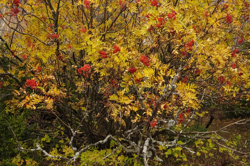 Mountain Ash , Sorbus Americana, With Berries In Autumn In The A. Mountain Ash, Sorbus Americana, Bald Mt, High Peaks Region, Adirondack Forest Preserve, New stock photos