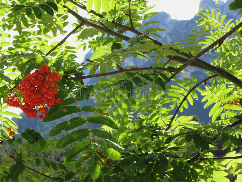 Mountain ash Sorbus Bush with red berries and Dolomites background. Fie allo Sciliar, South Tyrol, Italy.  stock photo