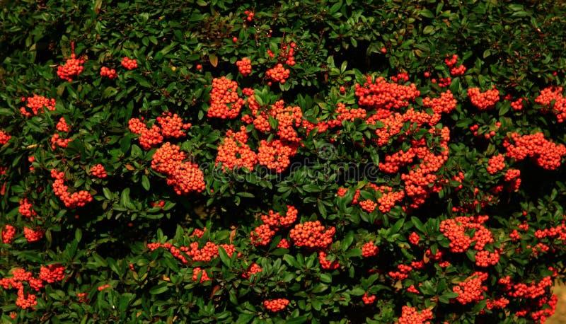 Mountain ash Sorbus royalty free stock image