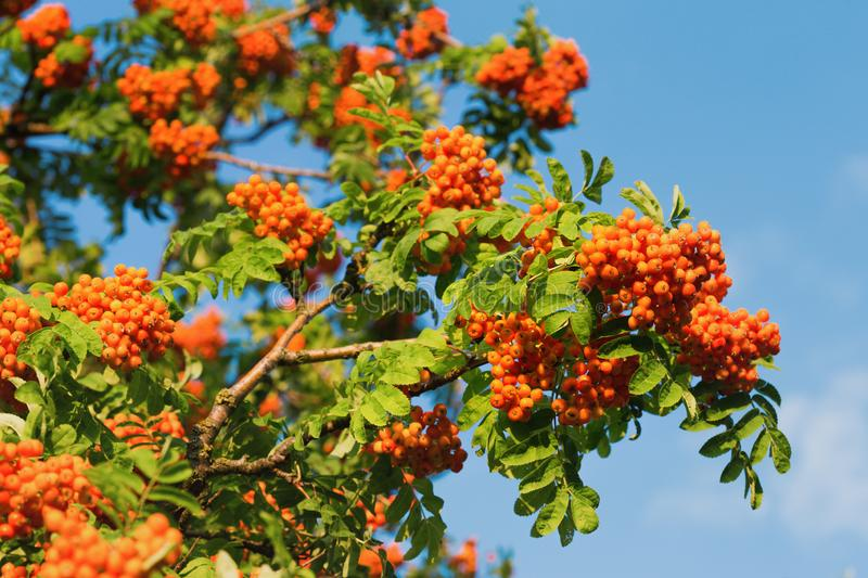 Mountain ash at sunset - wallpaper. Ripe mountain ash against the blue sky - wallpapers stock images