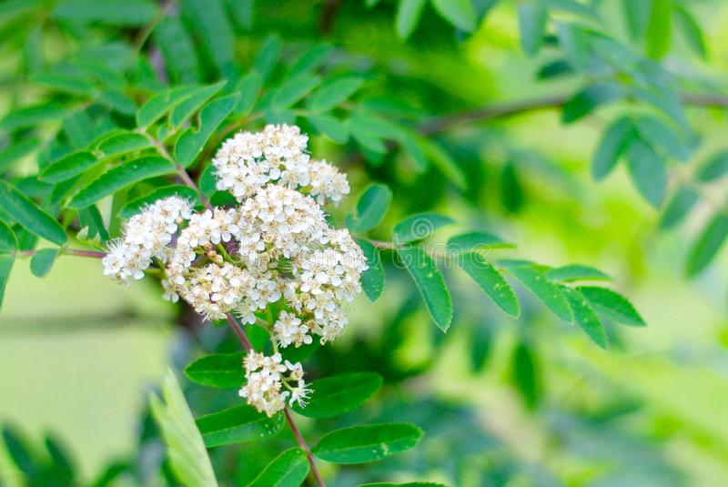 Mountain Ash. The mountain ash tree is in bloom. Later these will turn to red berries for the birds to eat. BlurredBackground stock photography
