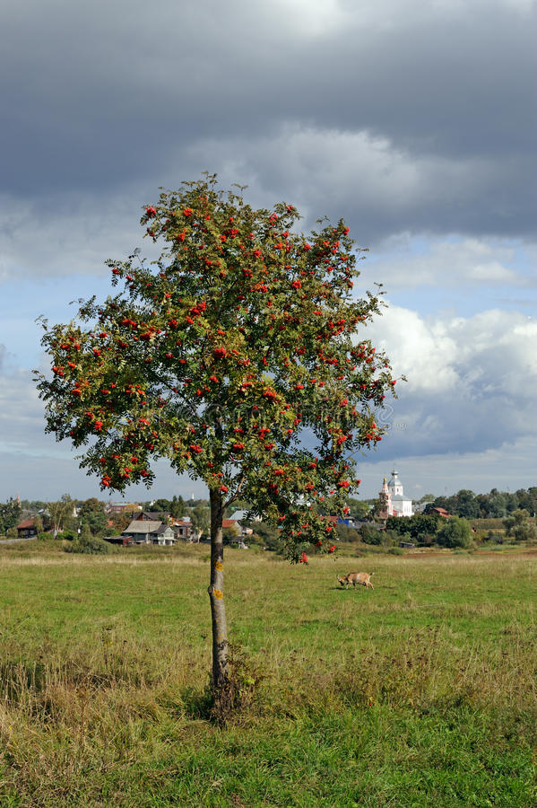 Mountain ash tree on meadow stock images
