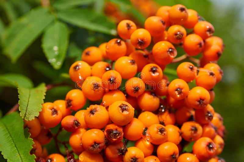 Mountain ash tree with ripe berry. (Sorbus aucuparia royalty free stock image
