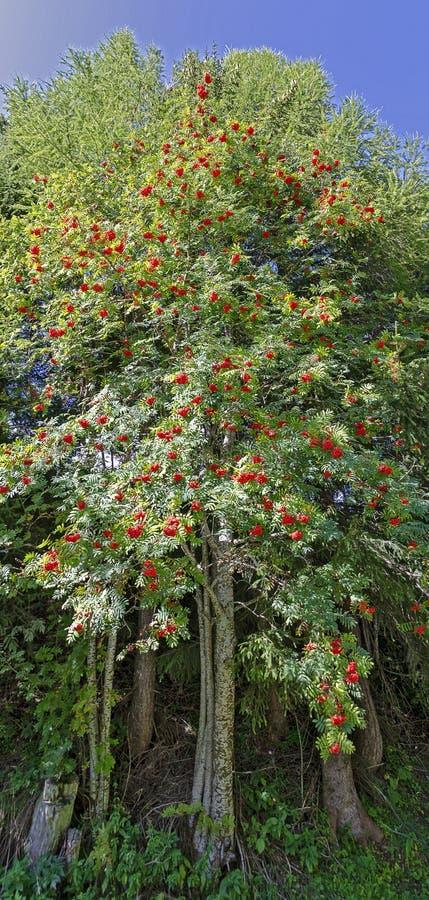 Mountain ash tree royalty free stock photo