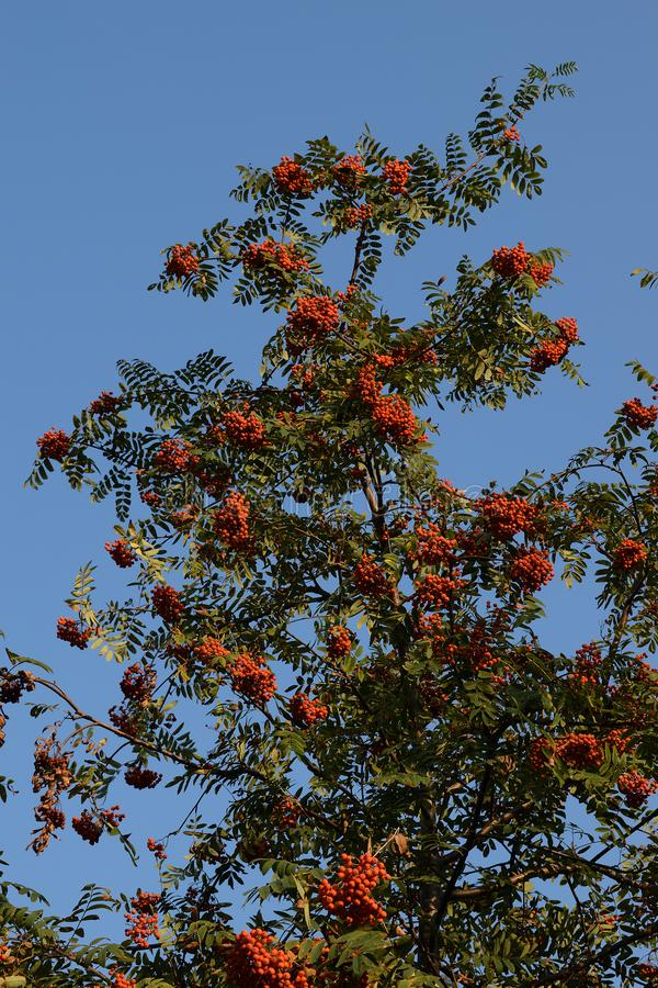 A mountain ash tree with the romanberries on a blue sky background. Season: autumn. A beautiful sunny day royalty free stock photography