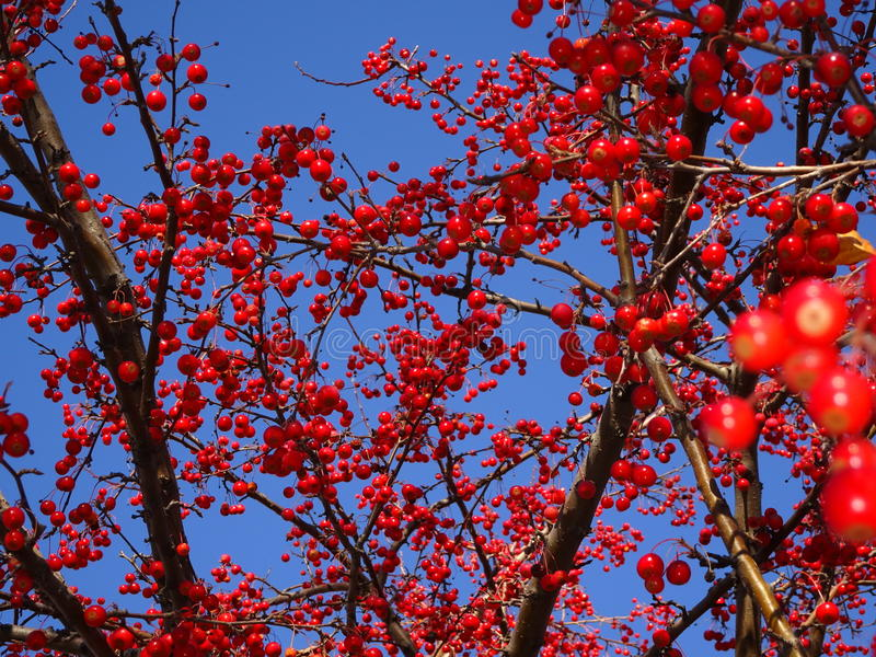 Mountain ash tree Sorbus americana with red berries. Fall berries on the branches of a tree in Minnesota with a blue sky background royalty free stock photo