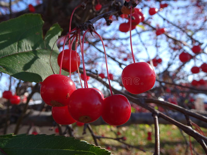 Mountain ash tree Sorbus americana with red berries. Fall berries on the branches of a tree in Minnesota with a blue sky background stock photo