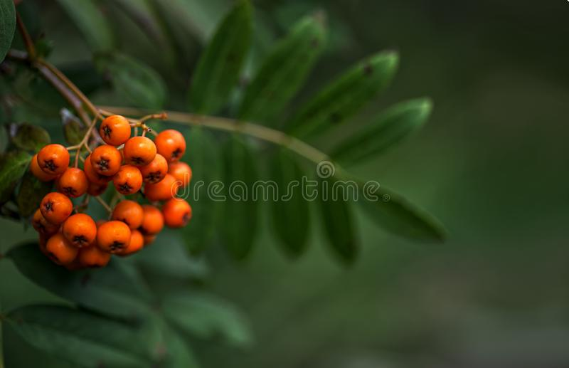Mountain-ash tree Sorbus aucuparia branch with orange berries stock photos