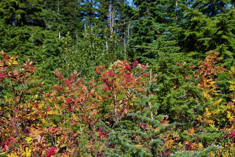 Mountain ash trees with red berries and fall foliage. Branches of mountain ash with red berries and fall foliage in the North Cascades stock images