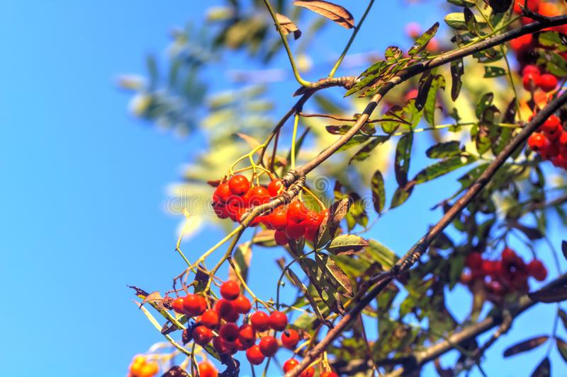 Mountain ash wild tree. Berries of the mountain ash growing in the autumn wood royalty free stock image