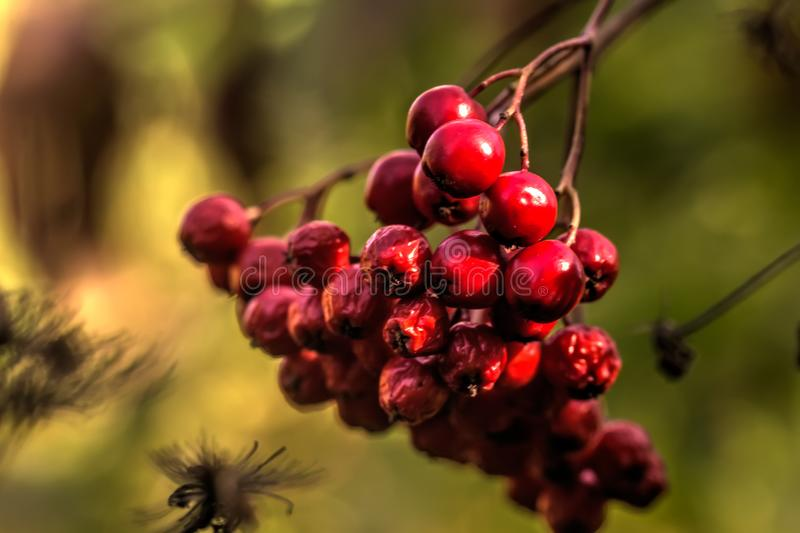 Mountain ash wild tree. Berries of the mountain ash growing in the autumn wood stock photography